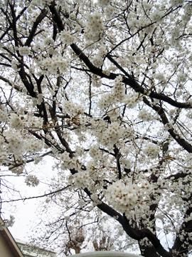 桜A_5263.jpg